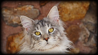 Spellbound's Ace Of Spades - Maine Coon