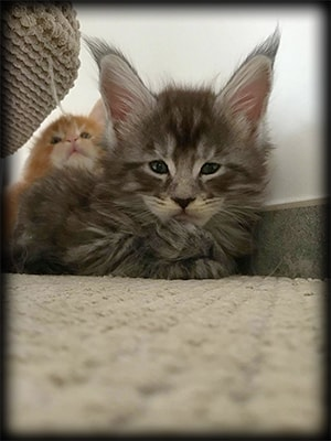Groupe Chatons d'En Terra d'Oc - Chatons Maine Coon