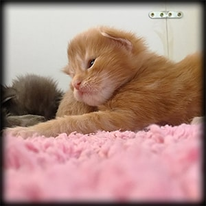Red d'En Terra d'Oc - Chaton Maine Coon