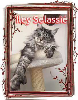 Coontact Iley Selassié P - Maine Coon Loof